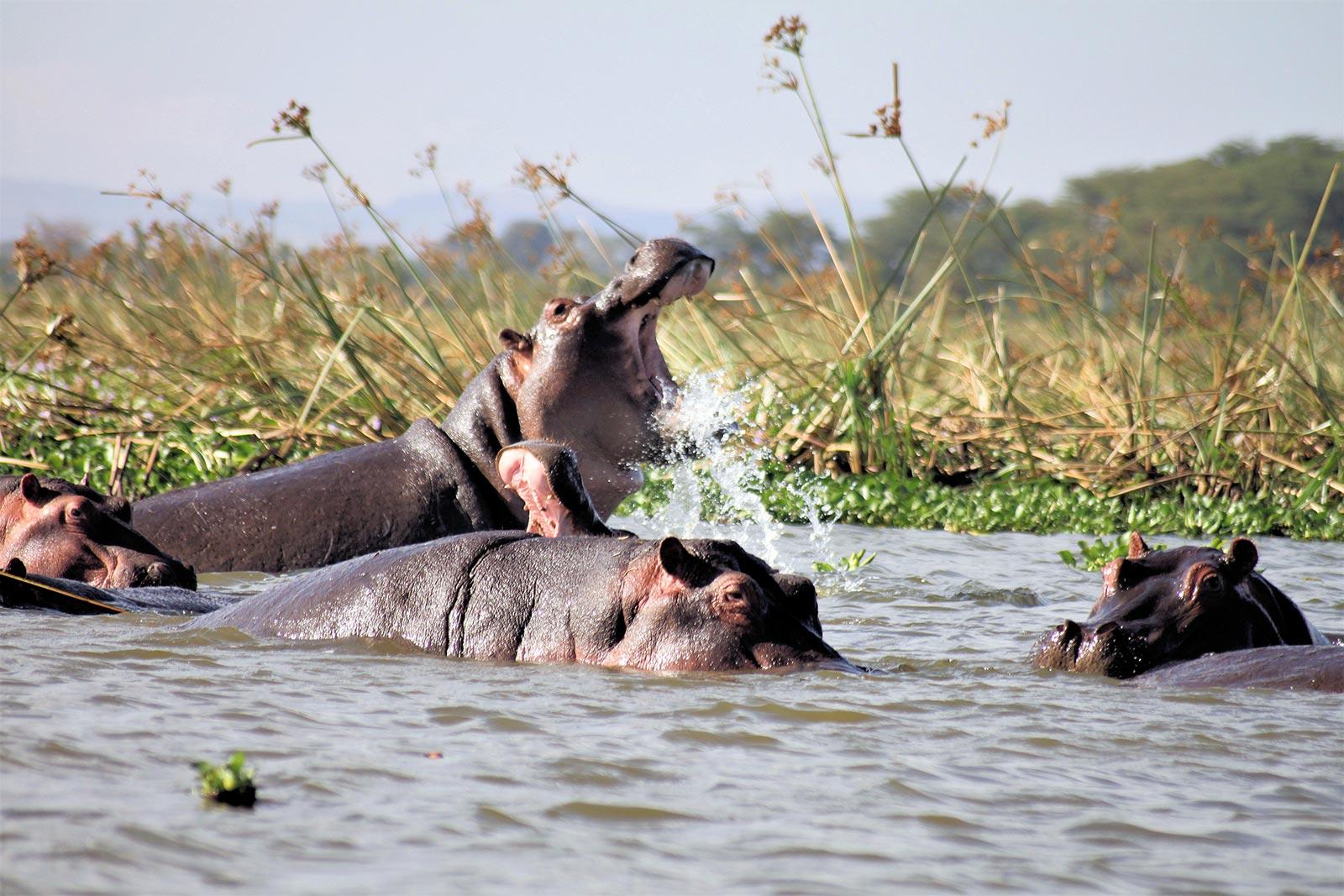hippos africa